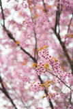 Sakura Cherry Blossom Stockbild