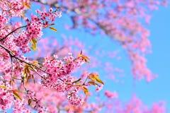 Sakura Cherry Blossom royaltyfri bild