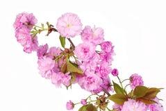 Sakura. Cherry Blossom aisló Fotos de archivo
