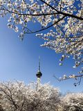 Sakura& x28;cherry blossom& x29; in Beijing China. Sakura festival in Yuyuantan park,view of television tower Stock Images