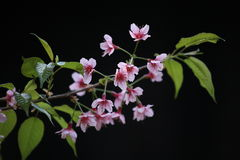 Sakura cherry blossom in black background Royalty Free Stock Photos