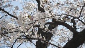 Sakura bloom brilliantly, Japan stock photos