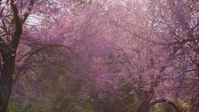 Sakura cherry blossom bloom at park with sunlight in springtime.  stock video