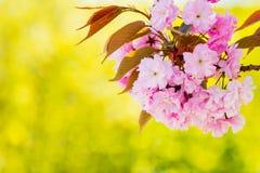 Sakura cherry blossom Royalty Free Stock Photos