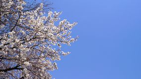 Sakura, cherry blossom with blue sky background in Tokyo, Japan stock footage