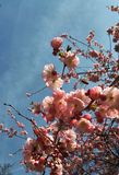 Sakura. Cherry blossom with blue sky and a flying bee Royalty Free Stock Image