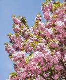 Sakura. Cherry blossom branc Royalty Free Stock Photography