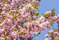 Sakura. Cherry blossom branch with beautiful soft nature background Stock Photos