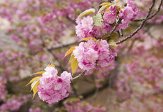 Sakura Cherry blossom Stock Photography