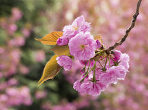 Sakura Cherry blossom Royalty Free Stock Photography