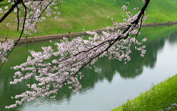 Sakura cherry blossom branches near river. Royalty Free Stock Photos