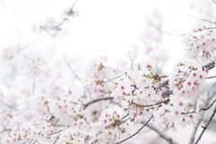 Sakura cherry blossom close up on tree branch. Isolated on white Royalty Free Stock Images