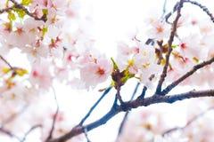 Sakura cherry blossom close up on tree branch Stock Images