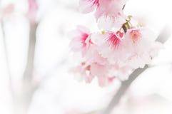 Sakura ( Cherry Blossom) Stock Photos