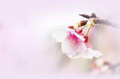 Sakura ( Cherry Blossom) Royalty Free Stock Photos
