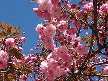 Sakura Cherry Blossom dans le printemps, belles fleurs roses Image libre de droits