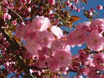 Sakura Cherry Blossom dans le printemps, belles fleurs roses Images stock