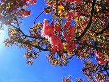 Sakura Cherry Blossom in de Lente, Mooie Roze Bloemen Stock Foto