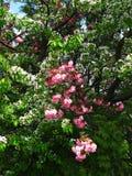 Sakura Cherry Blossom in de Lente, Mooie Roze Bloemen Stock Foto's