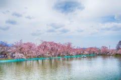 Sakura,Cherry blossom festival . Royalty Free Stock Photos