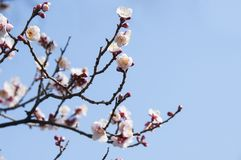Sakura, Cherry blossom flower with blue sky in Tokyo, Japan. Royalty Free Stock Images