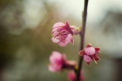 Sakura or cherry blossom flower full bloom in blue sky spring se Royalty Free Stock Photos
