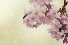 Sakura or cherry blossom flower Royalty Free Stock Images