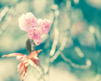 Sakura or Cherry blossom flower Royalty Free Stock Photos