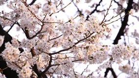 Sakura, cherry blossom flower with sunlight in spring season. Beautiful sakura, cherry blossom flower with sunlight in spring season stock video