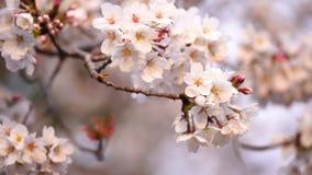 Sakura, cherry blossom flower with sunlight in spring season. Beautiful sakura, cherry blossom flower with sunlight in spring season stock footage