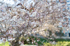 Sakura or cherry blossom flower tree full bloom in spring season Stock Photo