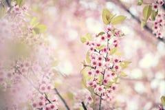 Sakura cherry blossom flowers. In close up stock photos