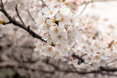 Sakura-Cherry Blossom flowers close-up-Japanese 's flower Royalty Free Stock Photography