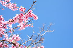 Sakura or cherry blossom flowers full blooming Stock Photos