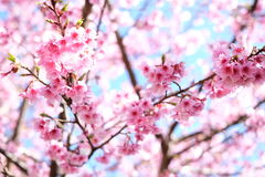 Sakura or cherry blossom flowers full blooming stock photo