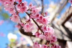 Sakura or cherry blossom flowers full blooming Royalty Free Stock Photos