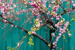 Sakura Cherry Blossom Royalty Free Stock Images