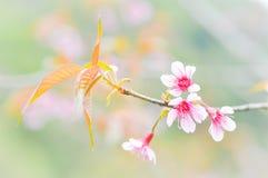 Wild Himalayan Cherry, Prunus cerasoides,Sour cherry, Cerasus cerasoides ,Sakura ,Cherry Blossom Royalty Free Stock Images