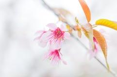 Sakura ,Cherry Blossom Stock Photography