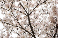 Sakura (Cherry Blossom) in Ho Park, Nagahama-Kasteel Stock Afbeeldingen