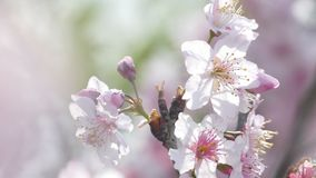 Sakura Cherry Blossom i Taiwan Härliga rosa färgblommor arkivfilmer