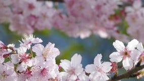 Sakura Cherry Blossom i Taiwan Härliga rosa färgblommor lager videofilmer