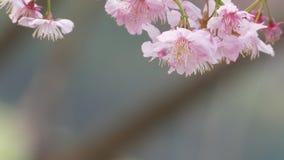 Sakura Cherry Blossom i Taiwan Härliga rosa färgblommor stock video
