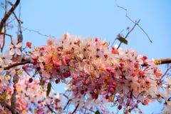 Sakura Cherry Blossom i vår, härliga rosa färgblommor Royaltyfri Foto