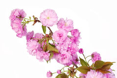 Sakura. Cherry Blossom isolated Stock Photos