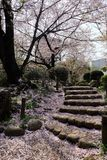 Romantic stair, Sakura, cherry blossom, Japan in April. Spring in Japan can only mean one thing: cherry blossom. Sandwiched between the long, bitter winter stock photography