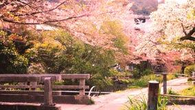 Sakura, Cherry Blossom, in Japan Royalty Free Stock Photos