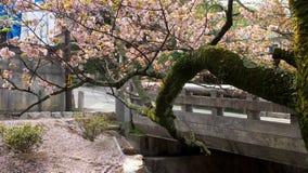 Sakura, Cherry Blossom, in Japan Royalty Free Stock Photo