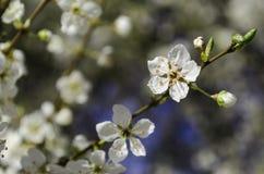 Sakura Cherry Blossom. A macro shot of Cherry Blossom in Japan Stock Photo