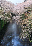 Sakura. Cherry blossom at Nakameguro Canal. Royalty Free Stock Photos